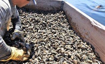 La Dinara levantó la prohibición de venta y traslado de moluscos bivalvos en Rocha y Maldonado.
