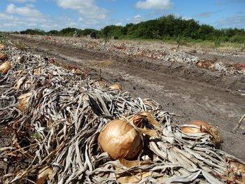 Uno de los rubros particularmente afectados es la cebolla.