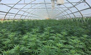El cáñamo industrial da cinco subproductos, pero en Uruguay el más popular es la flor por su valor comercial.