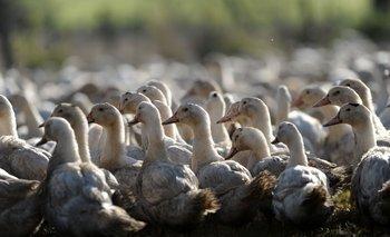 Francia sacrificará a cientos de miles de patos por brote de gripe aviar