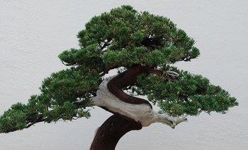 Los bonsáis pueden vivir durante siglos