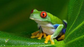 Las ranas Xenopus fueron utilizadas durante décadas para realizar pruebas de embarazo