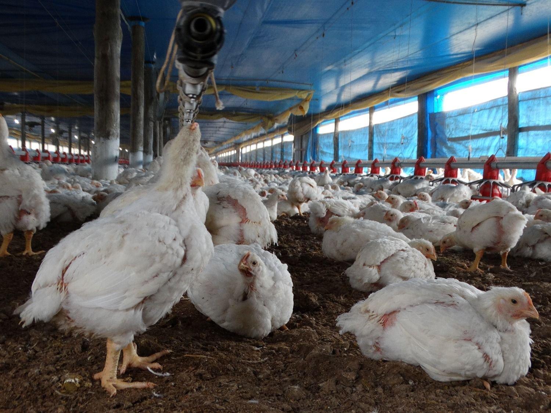 Perú cierra sus fronteras a exportaciones avícolas chilenas