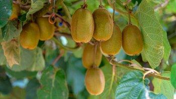 El kiwi es una de las frutas que podría verse afectada, en caso de que se produzca un brote.