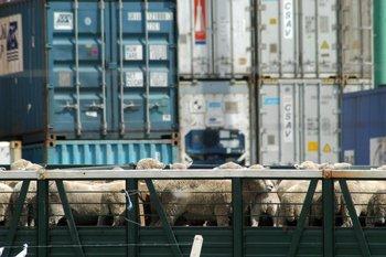 Los ovinos viajarán durante unos 20 días hasta llegar a su destino