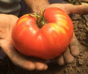 Cata de tomates antiguos en Paysandú.