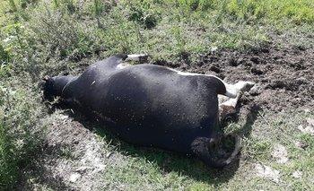 La mataron de un balazo dado de tal modo que el animal caiga de inmediato.