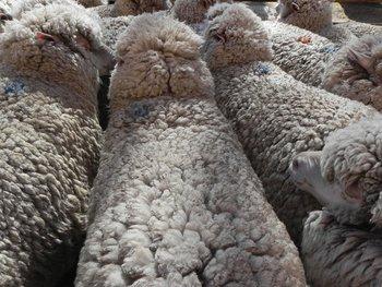 Esta será la última venta de ovinos de Zambrano & Cía en esta zafra