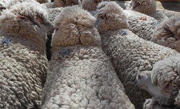 En el centro de Control Integrado de paso de frontera se inspeccionarán los ovinos previo a la exportación.