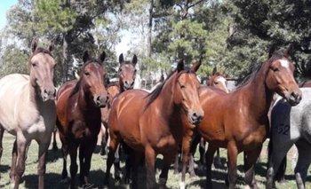Se rematarán 32 equinos Criollos