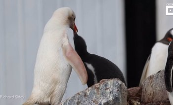 Fotografía del pingüino con leucismo.