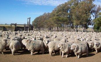 Hoy existen 6,4 millones de ovinos de diferentes razas en todo el país