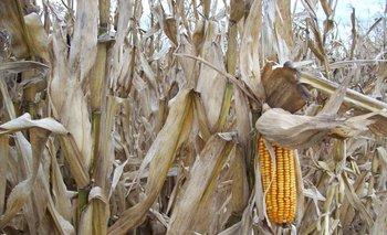 Cultivo de maíz en chacras de Uruguay.