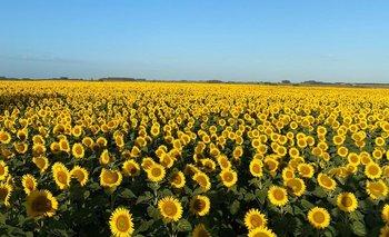 Este año se sembraron entre 5.000 y 7.000 hectáreas de girasol en Río Negro, Soriano, Paysandú y Colonia.