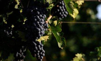 La apuesta de muchas bodegas es asegurar la calidad de sus cepas, más allá del Malbec, la uva insignia argentina.
