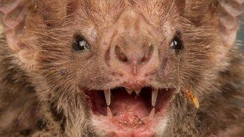 Los murciélagos tienen muy desarrollada su capacidad de ecolocalización.