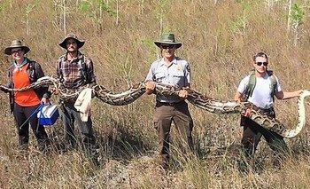 Las serpientes pitones son una gran amenaza para la fauna nativa de Florida
