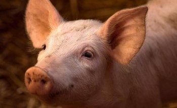 Los investigadores consiguieron reactivar limitadamente la actividad cerebral de cerdos muertos en un matadero.