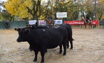 El trío de vacas integrantes del Lote Campeón PI de San José.