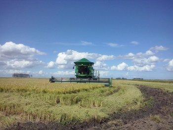 El 20% del arroz de esta zafra ya está vendido para exportación.