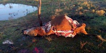 Al toro, de dos años de edad, le quitaron las paletas, los cuartos y los lomos.