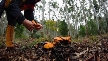 Recolección de hongos.