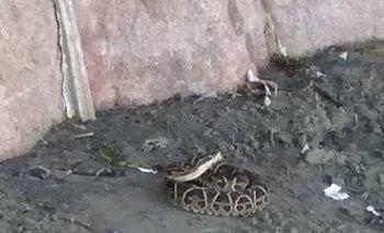 Hallaron serpiente crucera en la Playa Ramírez