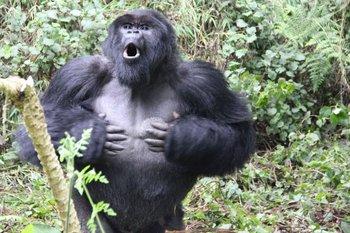Los golpes en el pecho son una forma de comunicación entre gorilas