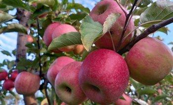 Comenzó la cosecha de manzanas Pink Lady.