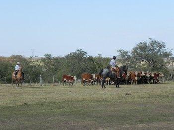 Todos los ganados Hereford exportados a China son certificados por la sociedad de criadores.