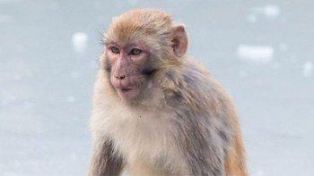 Monos Rhesus tuvieron resultados alentadores en pruebas de ensayo de vacunas contra el coronavirus
