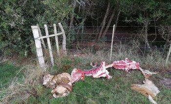 En las noches, arrinconan a las vacas con cría y las matan.