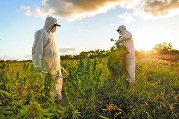Trabajadores durante la última cosecha de la empresa uruguaya Yvy Life Sciences