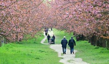 Las personas caminan a lo largo de los cerezos florecientes en el antiguo muro de Berlín en el distrito Teltow en un nublado