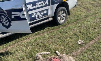 Algunos de los ovinos atacados tienen un valor estimado en varios miles de dólares.