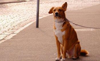 Exigirán cédula para trasladar perros en unidades de transporte interdepartamental.