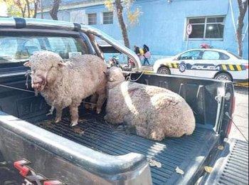 Ovejas, animales atacados por otros animales sin control, los perros.