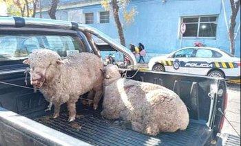 Las ovejas heridas exhibidas en Carmelo.
