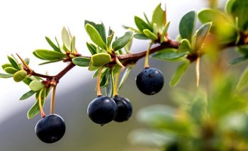 Los indígenas conocen desde hace mucho tiempo los beneficios para la salud de los frutos locales