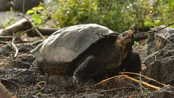 La tortuga gigante hallada en la isla Fernandina
