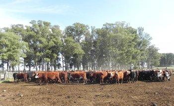 El precio del ganado sigue firme.