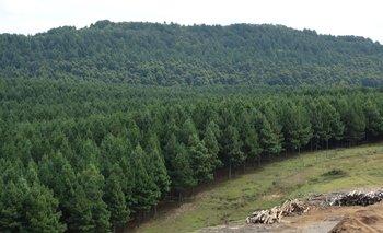 Los rolos de pino están muy demandados en 2021.