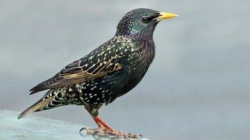 Los pájaros aparecen a menudo en las obras de Shakespeare, aunque solo hay una mención al estornino.