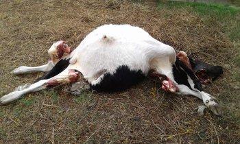 Un novillo y una vaquillona de aproximadamente 200 kilos fueron faenados en la noche del pasado sábado.