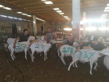 Uruguayos en España muestran, pintando el dato en el cuero de los ovinos, la cantidad de ejemplares que esquilaron ese día