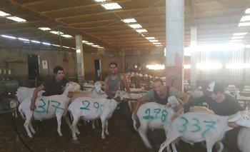 Uruguayos en España muestran, pintando el dato en el cuero de los ovinos, la cantidad de ejemplares que esquilaron ese día.