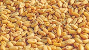 El grano de trigo logra muy buenos precios.