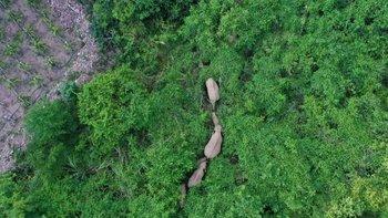 Los científicos señalan que no pueden determinar hacia donde se dirige la manada de elefantes.