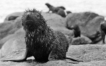 Lobo marino con petróleo, por derrame petrolero del buque tanque San Jorge, en 1997.