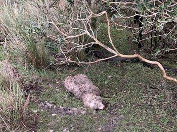 Este martes, tras bajar el nivel del agua, comenzaron a aparecer las ovejas muertas.